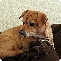 Adopt A Pet :: Rosie - Puyallup, WA