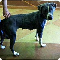 Adopt A Pet :: Mona *FOSTER NEEDED* - Chicago, IL