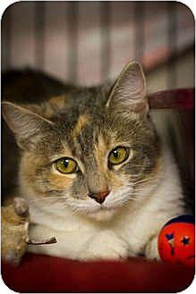 Calico Cat for adoption in Bulverde, Texas - Elvira