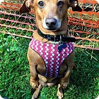 Adopt A Pet :: Bitsy - Marcellus, MI