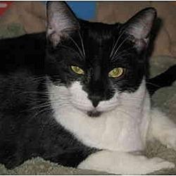 Photo 1 - Domestic Shorthair Cat for adoption in Cincinnati, Ohio - Scooter