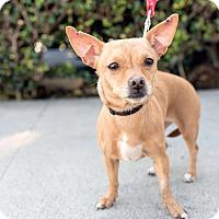 Adopt A Pet :: Gabriella - Encino, CA