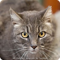 Domestic Mediumhair Cat for adoption in Fountain Hills, Arizona - Squeaky