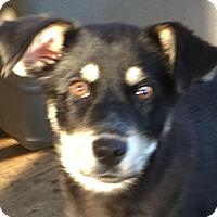 Adopt A Pet :: Sasha - Spring Valley, NY