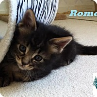 Adopt A Pet :: Romeo - Unique Colouring! - Huntsville, ON