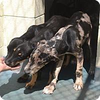 Adopt A Pet :: Lincoln - Willingboro, NJ