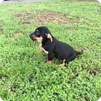 Adopt A Pet :: GB_Duke - E. Greenwhich, RI