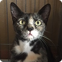 Domestic Shorthair Cat for adoption in Corona, California - SOPHIE