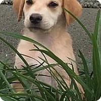 Adopt A Pet :: Preston - Richmond, VA
