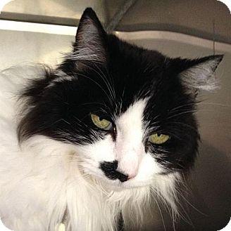 Domestic Longhair Cat for adoption in Port Angeles, Washington - Sadie
