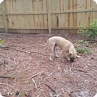 Adopt A Pet :: Mufasa - Fayetteville, NC