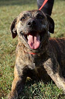 Plott Hound Dog for adoption in Washington, Georgia - Delah