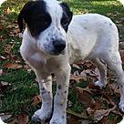 Adopt A Pet :: Zuke/Crystal Pup Mikah
