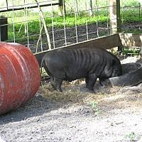 Pig (Farm) for adoption in Christmas, Florida - Pork Chop