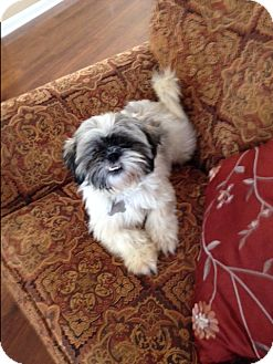 shih tzu rescue nyc princess adopted dog rochester ny shih tzu 2237