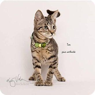 Domestic Shorthair Kitten for adoption in Westlake, California - TOM