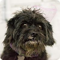 Adopt A Pet :: Annabella - MEET ME - Woonsocket, RI