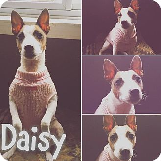 Jack Russell Terrier Dog for adoption in St Clair Shores, Michigan - Daisy