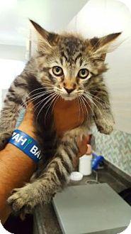 Domestic Mediumhair Kitten for adoption in Sarasota, Florida - Dale