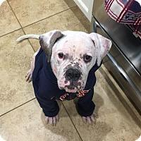 Adopt A Pet :: Hope (Medical Hold) - Tempe, AZ