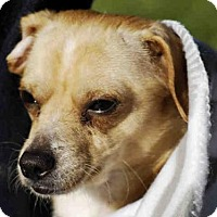 Chihuahua Dog for adoption in Long Beach, California - *MARTY