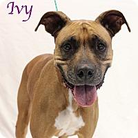 Adopt A Pet :: Ivy - Bradenton, FL