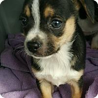 Adopt A Pet :: BANDIT - Mesa, AZ