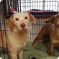 Adopt A Pet :: Laverne - Patterson, NY