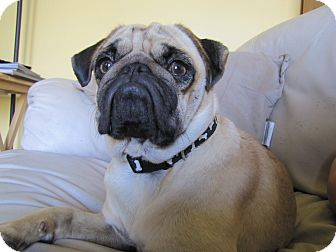 Pug Dog for adoption in Eagle, Idaho - Felix