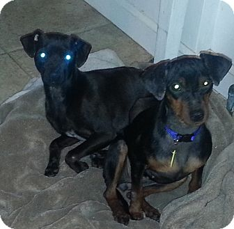 Miniature Pinscher Dog for adoption in Bardonia, New York - Bebe and Jasmine
