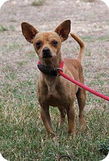 Chihuahua Dog for adoption in San Antonio, Texas - 310057 Wally