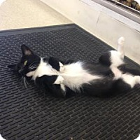 Domestic Mediumhair Cat for adoption in West Babylon, New York - Oreo