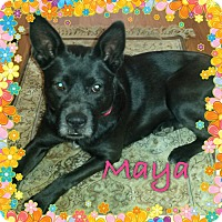 Adopt A Pet :: MAYA - EDEN PRAIRIE, MN
