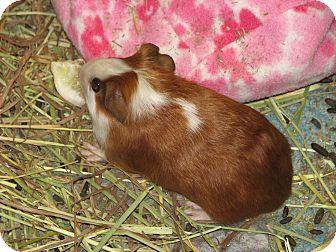 Guinea Pig for adoption in Holdingford, Minnesota - Missy
