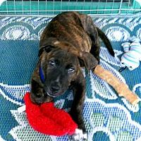 Adopt A Pet :: Bodhi - La Quinta, CA