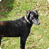Adopt A Pet :: Nikko - Hatifeld, PA