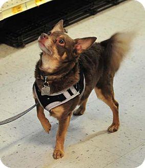 Miniature Pinscher/Chihuahua Mix Dog for adoption in Vernonia, Oregon - Capt. Jack Flash