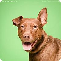 Labrador Retriever/Doberman Pinscher Mix Dog for adoption in Blacklick, Ohio - TJ