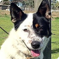 Adopt A Pet :: Astro - Vacaville, CA
