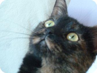 Domestic Shorthair Cat for adoption in Toronto, Ontario - Astrid