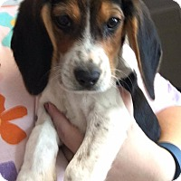 Adopt A Pet :: Aster - Garden City, MI