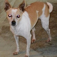 Chihuahua/Terrier (Unknown Type, Medium) Mix Dog for adoption in Mtn Grove, Missouri - Midas
