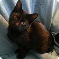 Domestic Shorthair Kitten for adoption in Attalla, Alabama - Bo