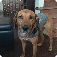 Coonhound Mix Dog for adoption in Pataskala, Ohio - Finny (adoption pending)