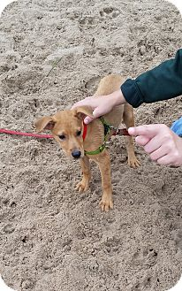 Labrador Retriever Mix Puppy for adoption in Chicago, Illinois - Brian Flannagan