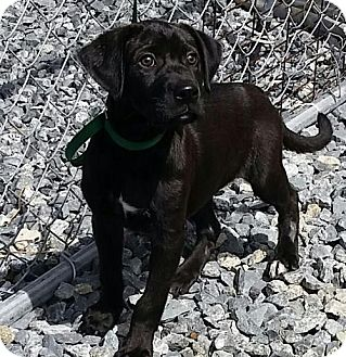 Labrador Retriever Mix Puppy for adoption in Thomasville, North Carolina - Simone