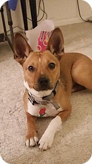 Carolina Dog Mix Dog for adoption in Laingsburg, Michigan - Roxy - Carolina Dog