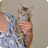 Domestic Shorthair Kitten for adoption in Sunrise Beach, Missouri - Magic