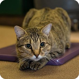 Domestic Shorthair Cat for adoption in Sedona, Arizona - Moose