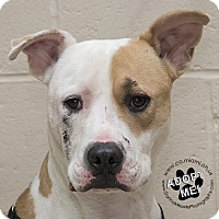 Pit Bull Terrier Mix Dog for adoption in Troy, Ohio - Pacino